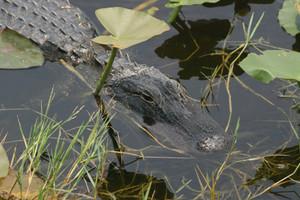 Alligator2332375_1920