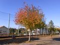 RIMG0018紅葉の木のアップ