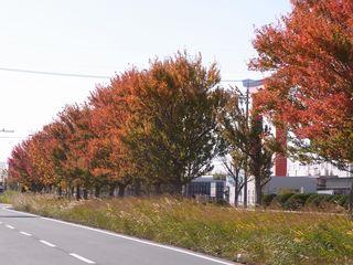 RIMG0031ポプラ並木の紅葉