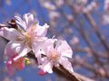 RIMG0051桜2のアップ