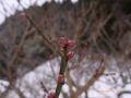 RIMG0078梅の冬芽