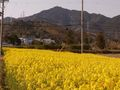 RIMG0056菜の花と本宮山