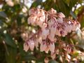 RIMG0039アセビは咲いていた