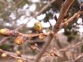 RIMG0005桜のアップ
