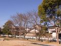 RIMG0023学校の桜