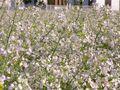 RIMG0003花畑のアップ